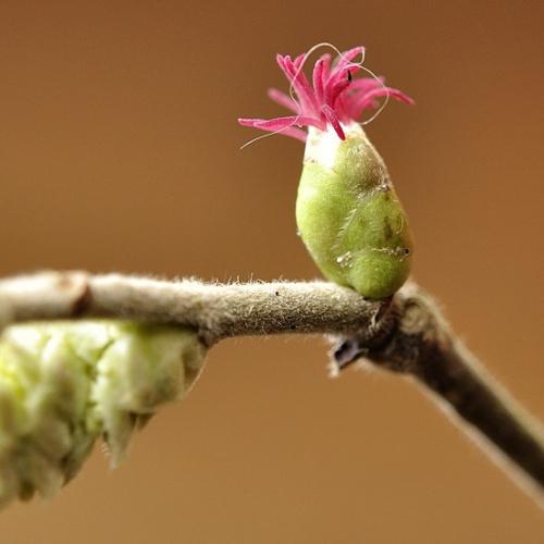 fleurfemellenoisetier.jpg