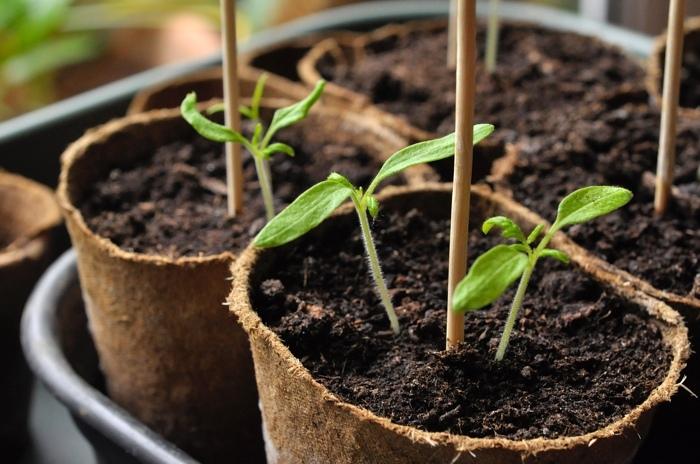 semis tomates 2.jpg