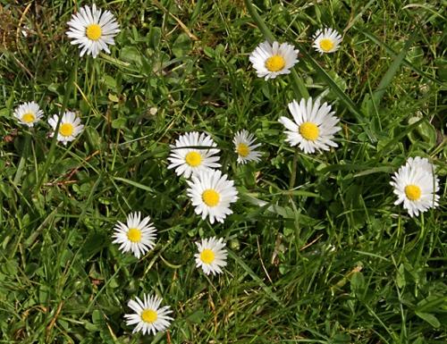 nature,fleurs,pâquerette,senlisse