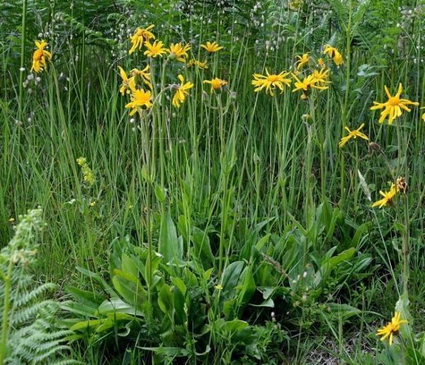 plantes fleurs jaunes flore de senlisse. Black Bedroom Furniture Sets. Home Design Ideas