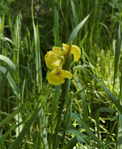 nature,iris des marais,fleurs,photos