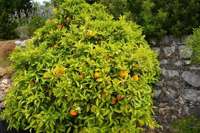 oranger arbre.jpg