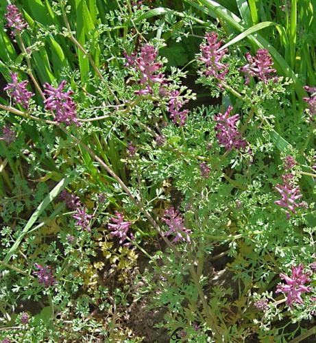 nature,fleur,herbier,fumeterre,photos