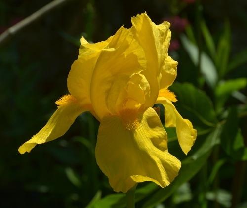 iris jaune.jpg