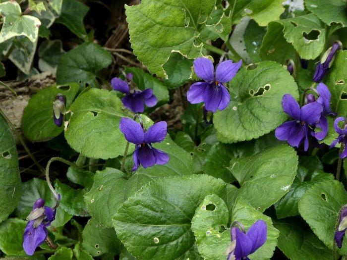 violettes.jpg