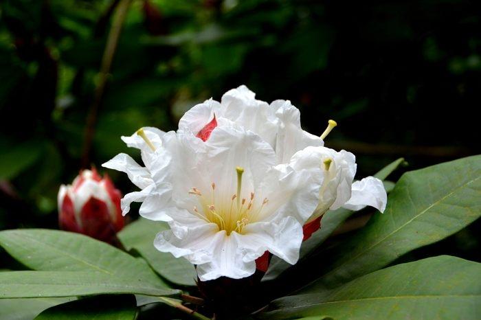 rhododendron blanc.jpg