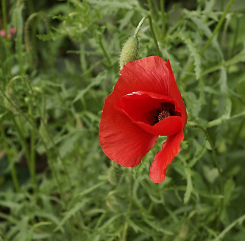 nature,fleurs,coquelicot,photos