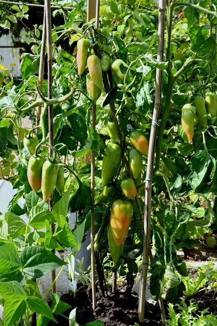 tomates Senlisse.jpg
