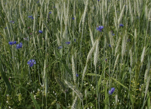 nature,fleurs,bleuet,photos