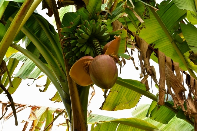 fleur bananier.jpg