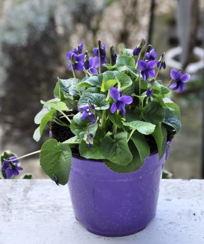 violetteodorante.jpg