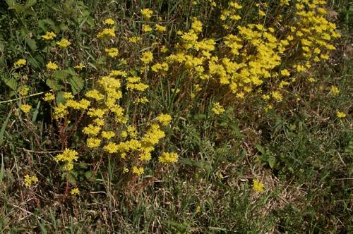nature,fleurs,sedum,78,photos