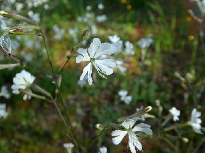 silène andryalifolia 2.jpg