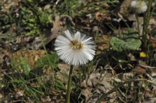 nature,fleurs,tussilagre,photos,senlisse