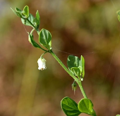 459392salpichroaariganifolia.jpg