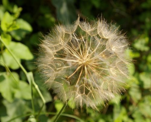 pissenlit,fleurs,nature,photos,senlisse