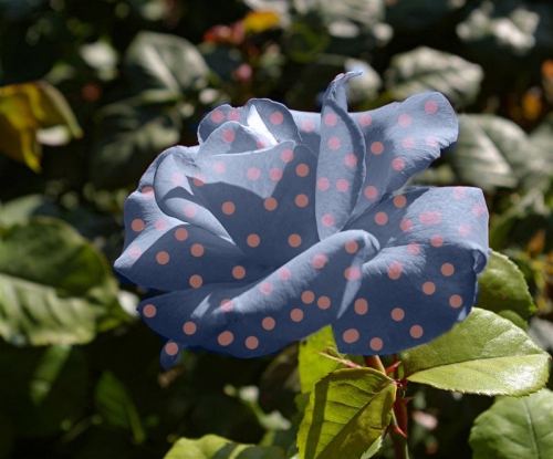 rosasenlissius.jpg