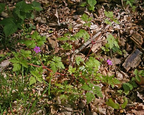 nature,fleurs,géranium robert,photos