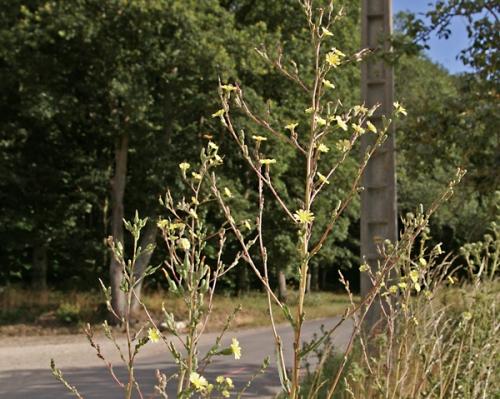 nature,fleurs sauvages,78,senlisse