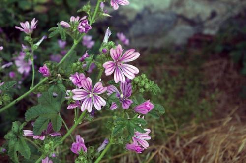 nature,fleurs,mauve,photos