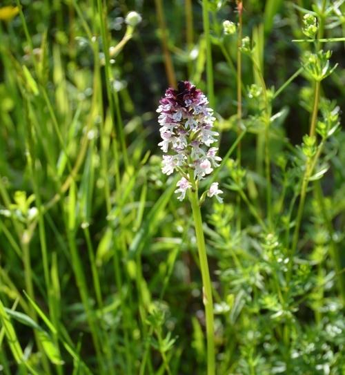orchis brûlé.jpg