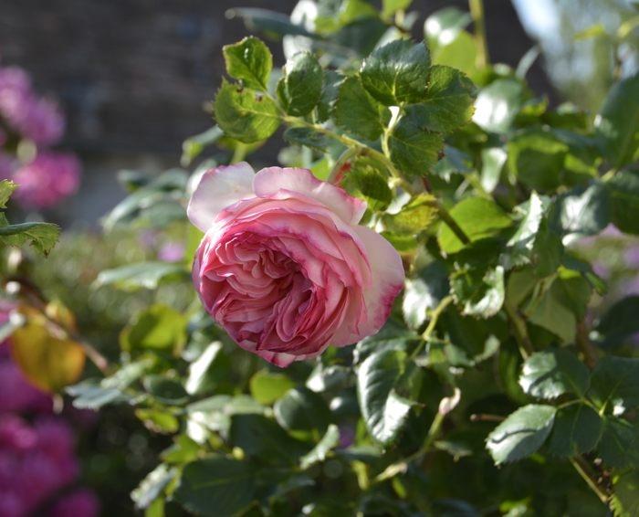 rose P. de Ronsard.jpg