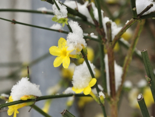 fleurs,nature,neige,photos