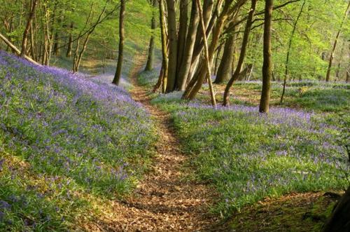 jacinthe des bois,fleurs,nature,photos,senlisse