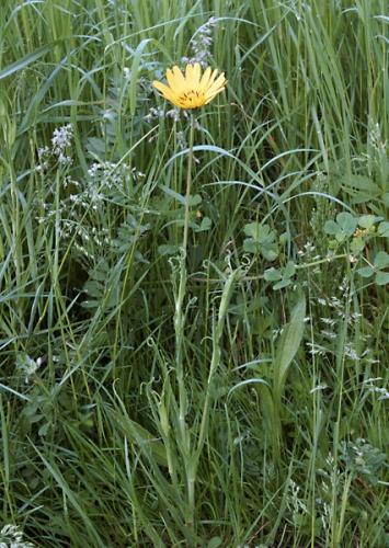 nature,fleurs,salsifis,78,photos
