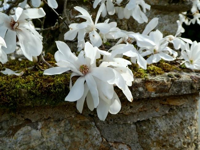 magnolia merill.jpg