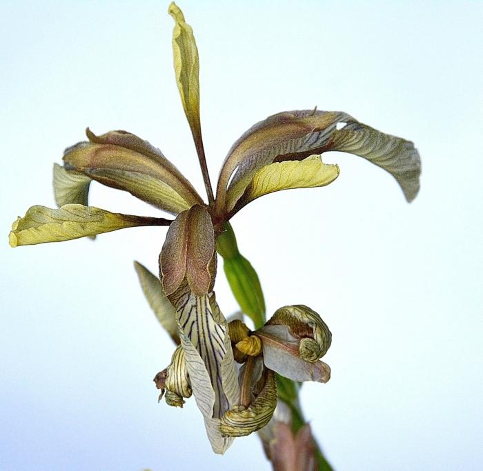 iris fétide.jpg