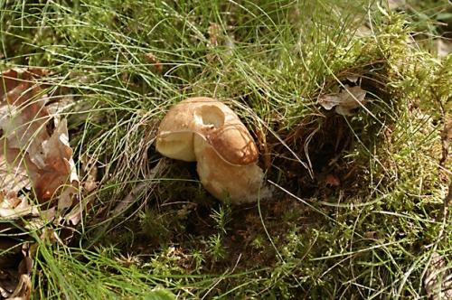 champignons,nature,cèpe d'été,photos