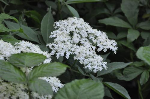nature,fleurs,baies sauvages,herbier