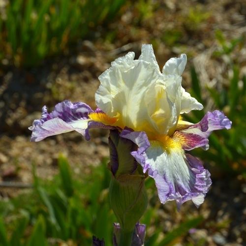 iris plusieurs couleurs.jpg